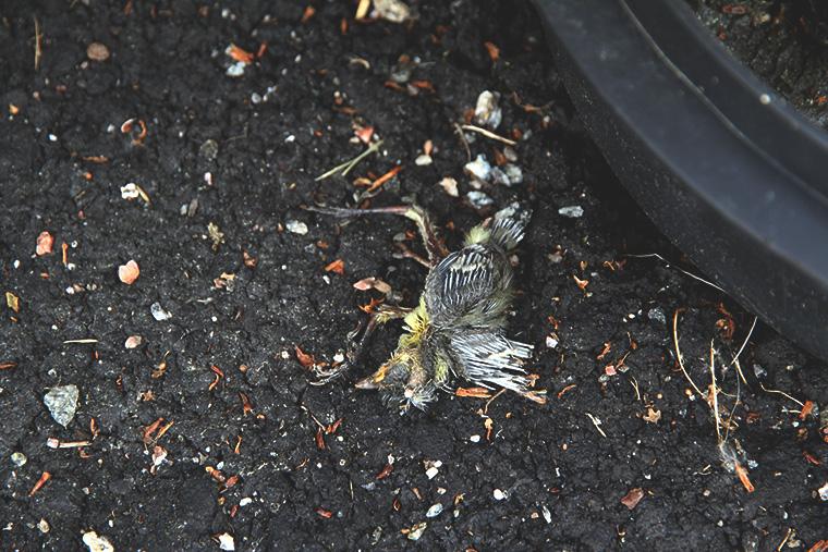kuollut linnunpoikanen