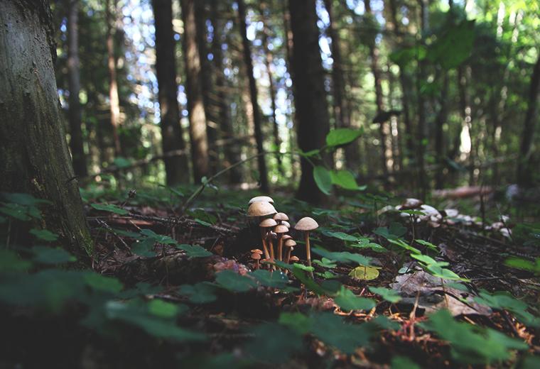 hunajaista sienet metsa