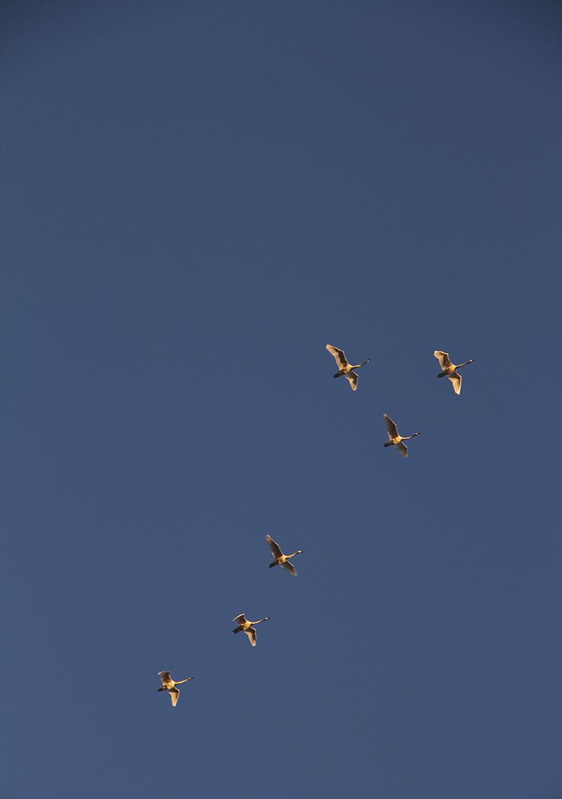 juotsenet aura taivaalla muuttolinnut hunajaista