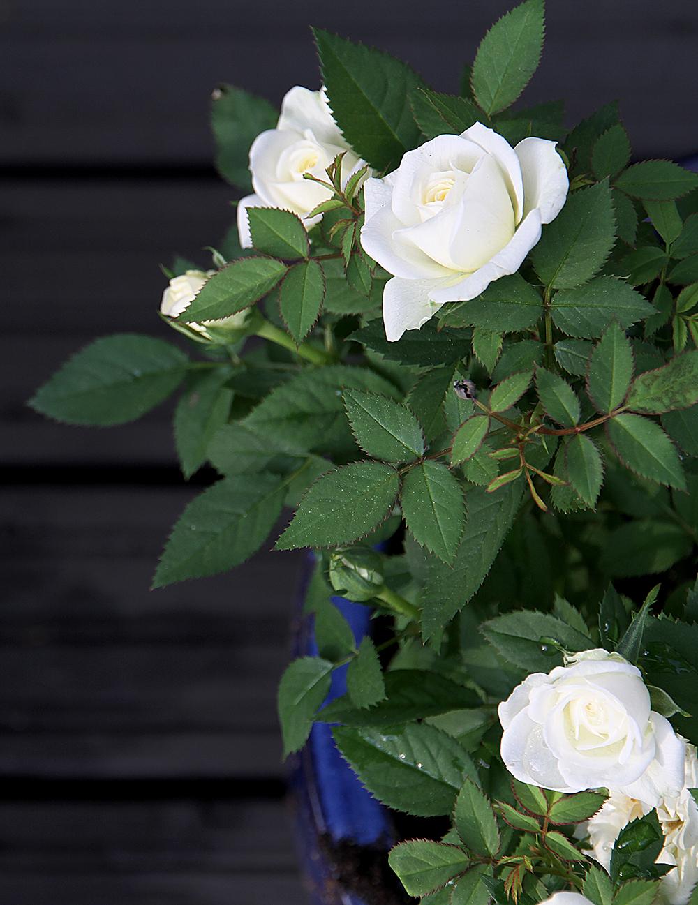 hunajaista ruusu takapiha terassi puutarha