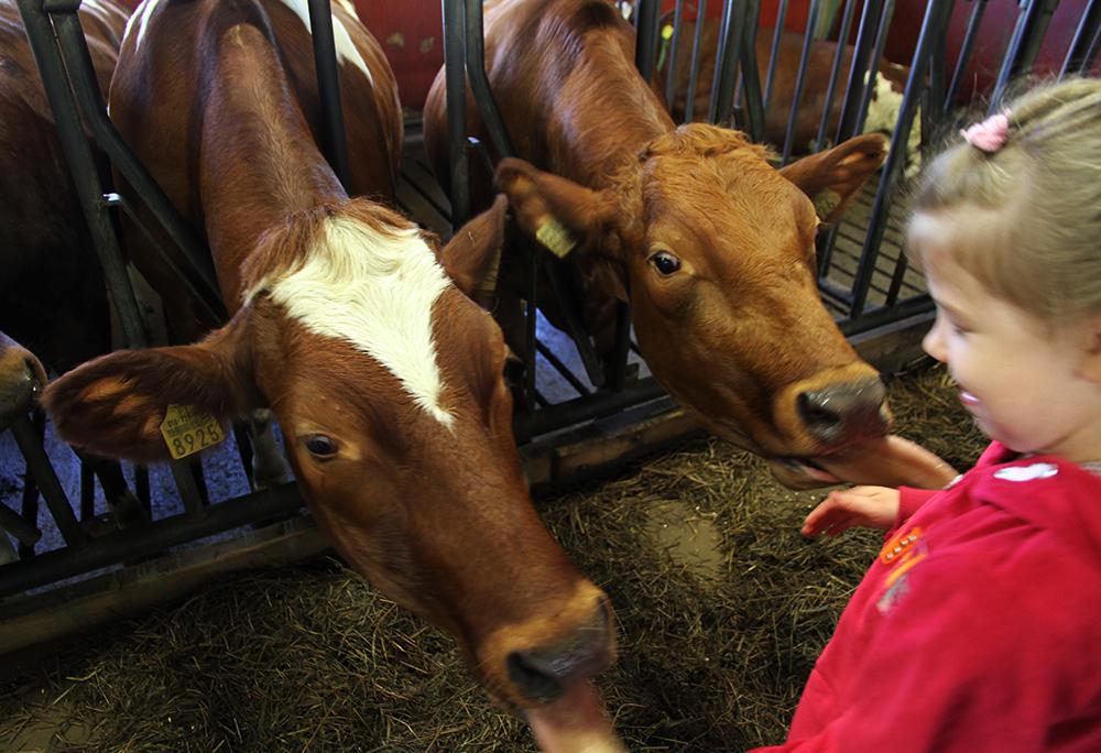 lehmat maitotila arla hunajaista