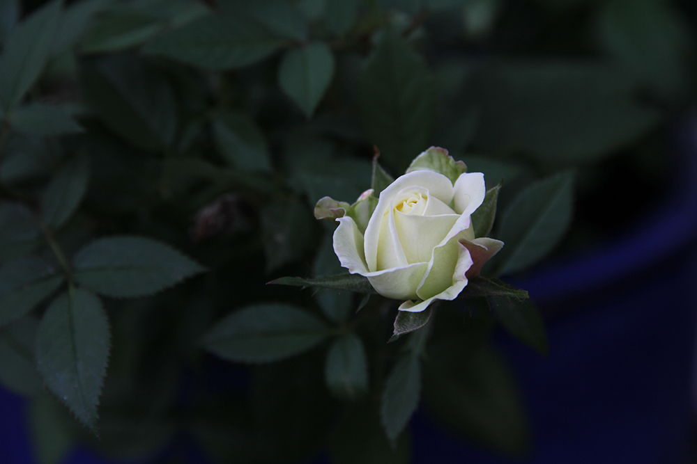 hunajaista ruusu takapiha terassi