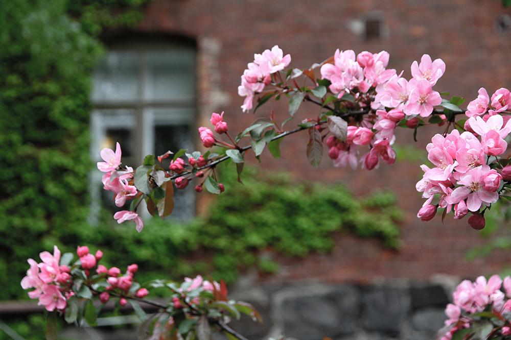 kirsikkapuu suomenlinna hunajaista