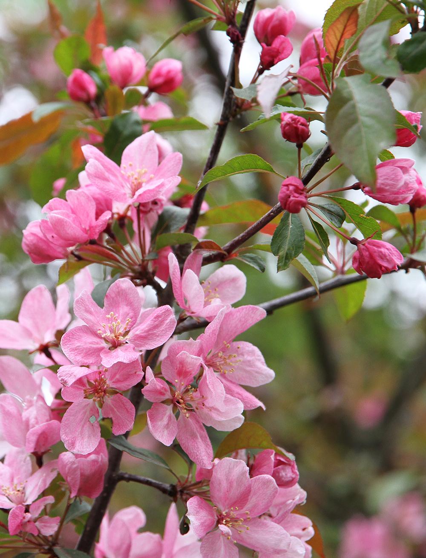 suomenlinna hunajaista kirsikkapuu kukkii