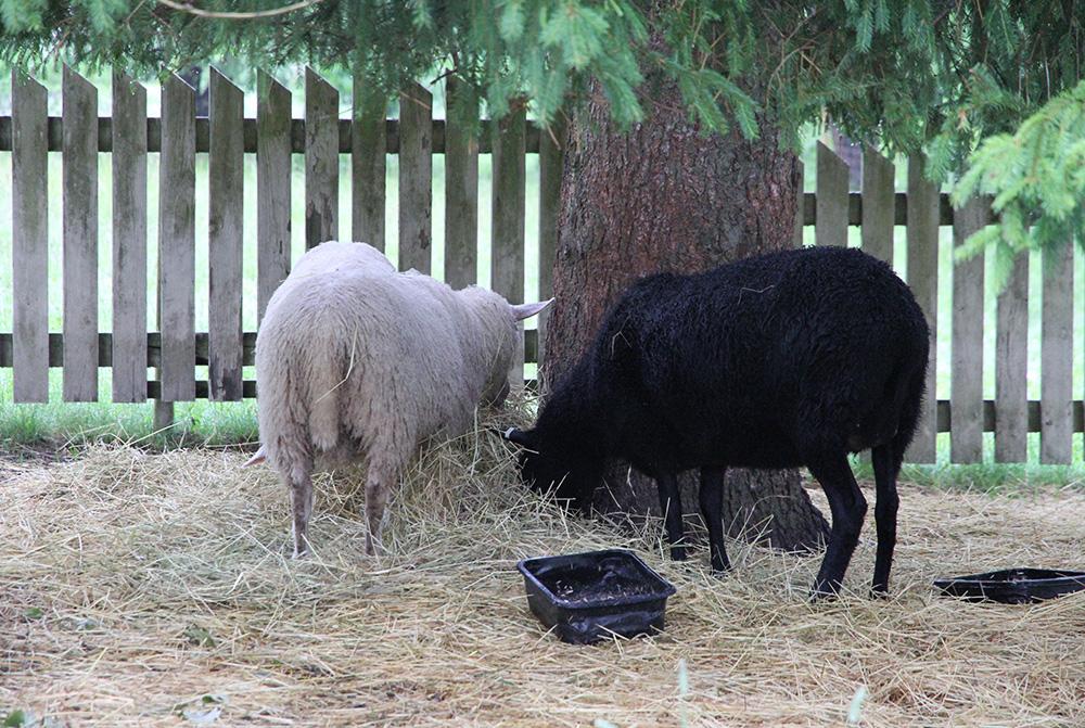 hunajaista lampaat iloisen passin kauppa