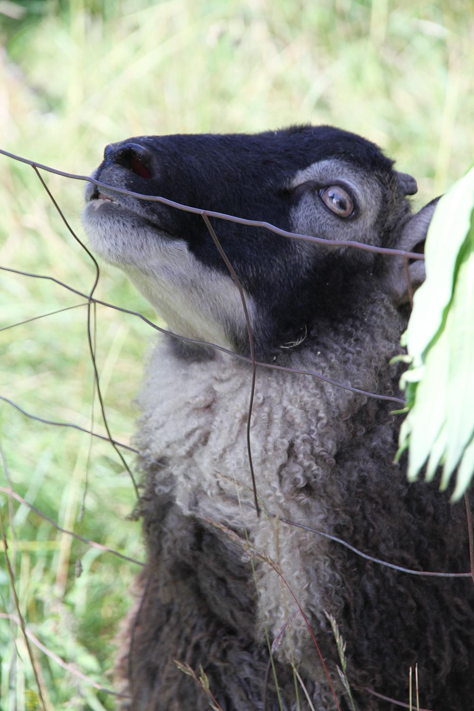 karvaparta hunajaista lammas