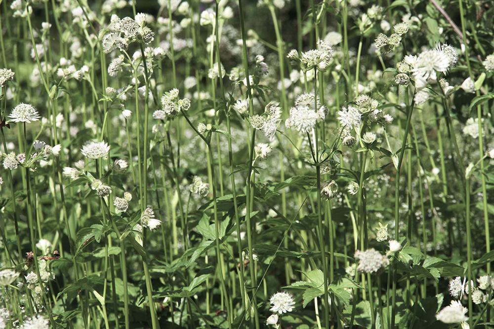 niittykukkia hunajaista luontokuvaus