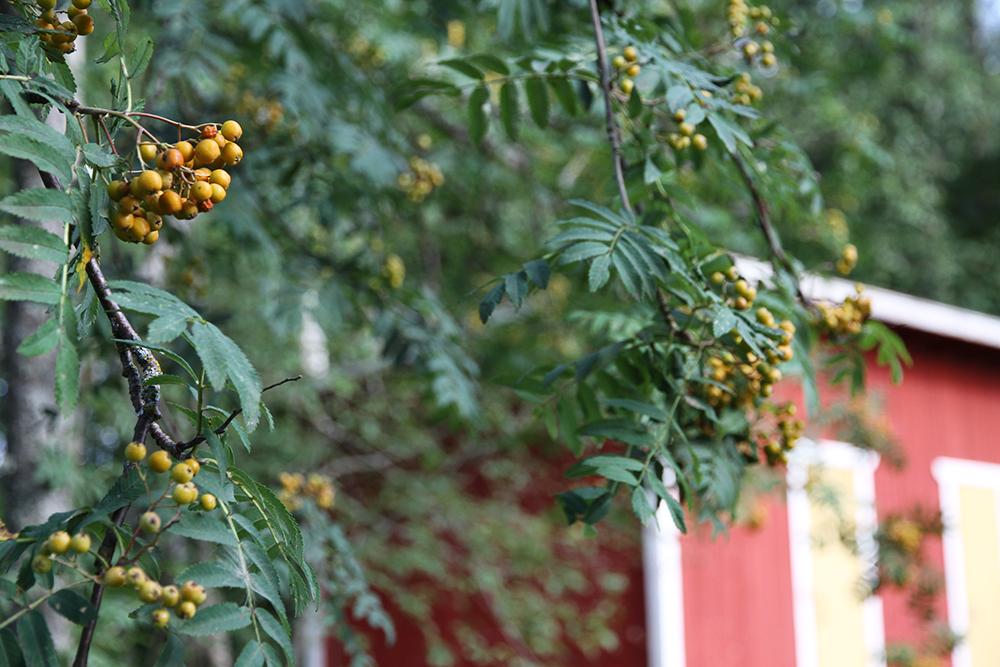 pihalajan marjat hunajaista kesamokki