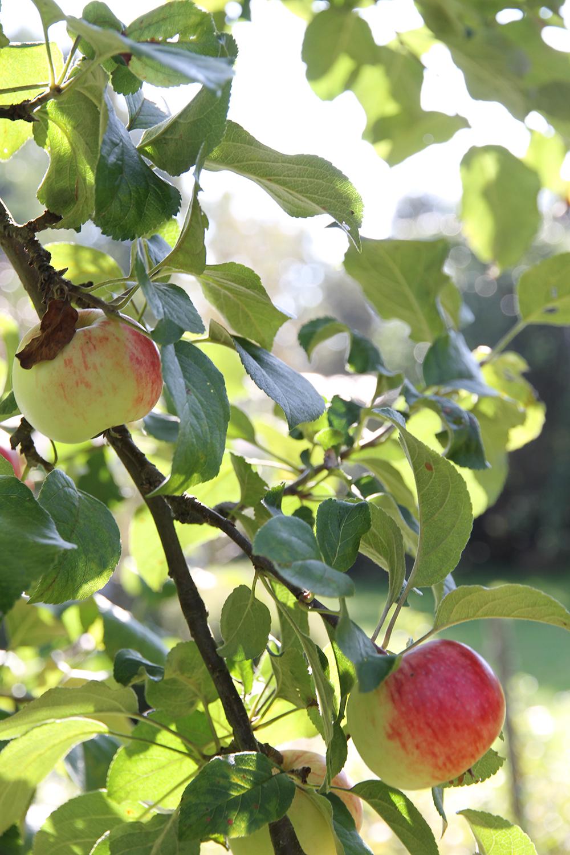hunajaista omenapuu