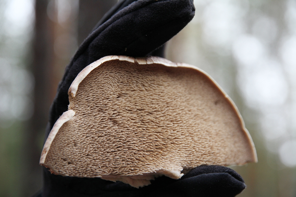 hunajaista pillit orakas sieni