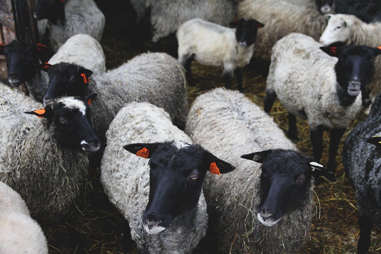 hunajaista lampaat tiirinkoski
