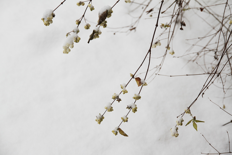 hunajaista lumimarja