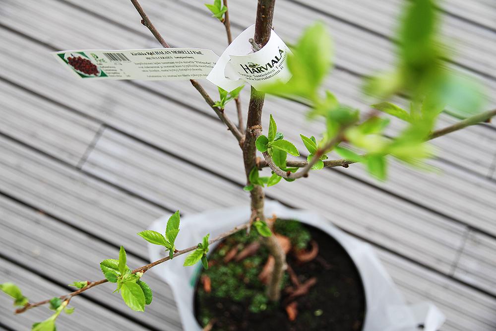 hunajaista aitienpaivalahja kirsikkapuu harvialan puutarha
