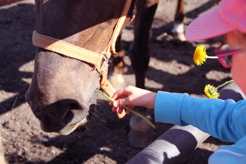 hunajaista hevoselle voikukkia