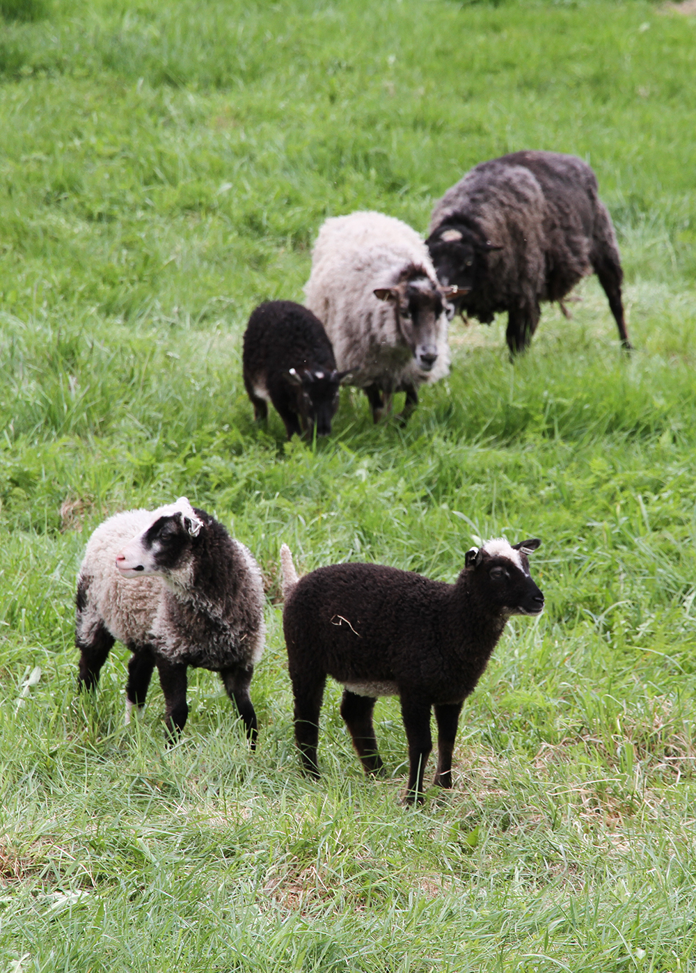 hunajaista lampaat